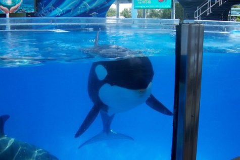 Possible new law threatens to release captive Orcas in California
