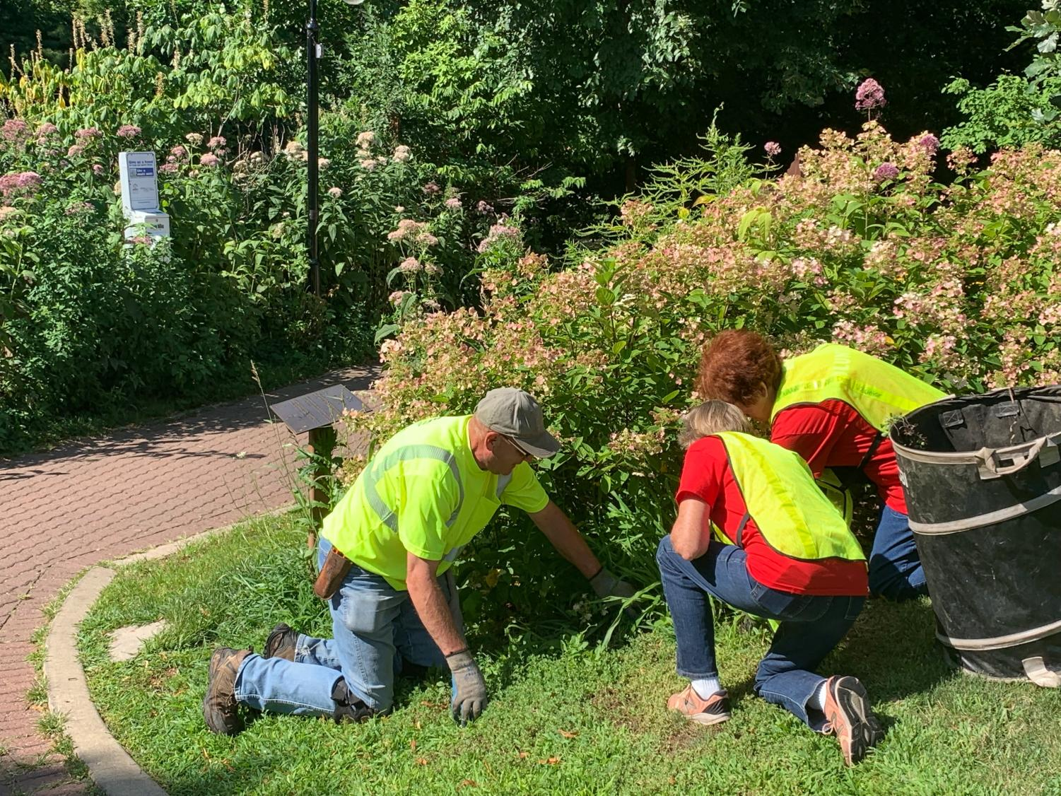 Volunteers working together to weed around a bush